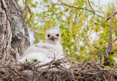 ferruginous hawk nest - stock photo