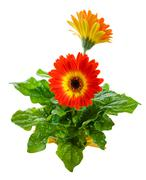 Orange gerbera daisy Stock Photos
