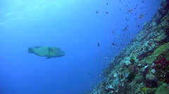 Napoleon wrasse (Cheilinus undulatus) swimming over coral reef Stock Footage