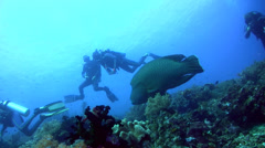 Napoleon wrasse (Cheilinus undulatus) swimming over coral reef with divers Stock Footage