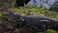 Stock Video Footage of Alligator on the Shore of a Swamp 4040