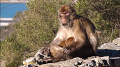 Barbary Macaque Mother and Baby, Gibralter Stock Footage