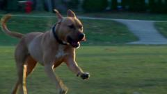 Brown dog running in the park Stock Footage