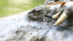 Salt Alligator eye Stock Footage