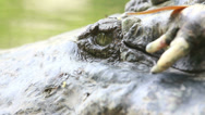 Stock Video Footage of Salt Alligator eye