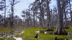 Bald Cypress Trees in a Swamp in Louisiana 4028 Stock Footage