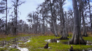 Stock Video Footage of Bald Cypress Trees in a Swamp in Louisiana 4028