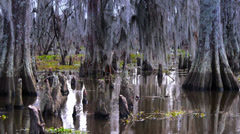 The Knees of Bald Cypress Trees in a Swamp 4038 Stock Footage