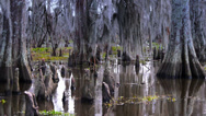 Stock Video Footage of The Knees of Bald Cypress Trees in a Swamp 4038