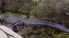 Approaching an Alligator in the Swamps of Louisiana 4029 Stock Footage