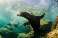 Stock Photo of Californian sea lion