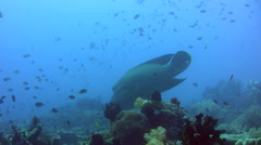 Napoleon wrasse (Cheilinus undulatus) hovering and opening mouth Stock Footage