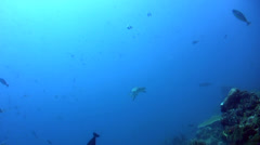 Whitetip reef shark (Triaenodon obesus) swimming over coral reef Stock Footage