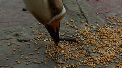 Feeding duck in slow motion Stock Footage