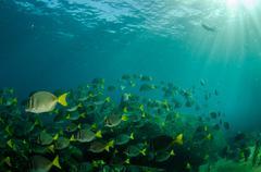 Stock Photo of Surgeonfish school