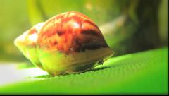 A snail with a beautiful home comes out of it's shell Stock Footage