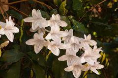 Forest Bell (Mackaya bella) 0624 - stock photo
