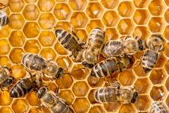 macro of working bee on honeycells. - stock photo