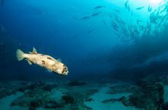 Reef fish, sea of cortez. Stock Photos