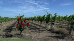 Pan of a wine garden at Margaret River, Western Australia Stock Footage