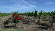 Stock Video Footage of Pan of a wine garden at Margaret River, Western Australia