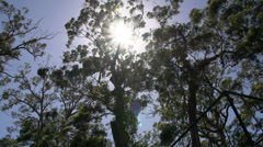 Sunshine through the forest Pan in margaret river forest Stock Footage