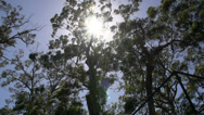Stock Video Footage of Sunshine through the forest Pan in margaret river forest