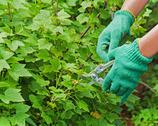 Stock Photo of hands with green garden pruner in the garden.
