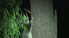 Possum in a tree in the night Stock Footage