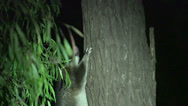 Stock Video Footage of Possum in a tree in the night