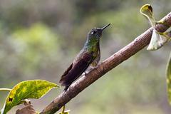 Hummingbird, valley de cocora, colombia Stock Photos