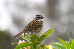 sparrow, colombia - stock photo