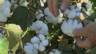 Stock Video Footage of Elderly Farm Worker Picks Cotton