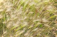 Stock Photo of autumn dry grass with blurry background.