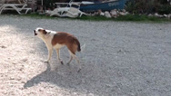 Stock Video Footage of Street dog barking