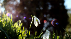 Snowdrop. Beginning of the spring. Stock Footage