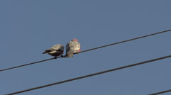 Gang-gang Cockatoo flying away from street cables in slow motion Stock Footage
