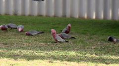 Gang-gang Cockatoo flying to a group cockatoos in slow motion Stock Footage