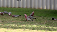 Stock Video Footage of Gang-gang Cockatoo flying to a group cockatoos in slow motion