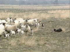 Border collie herding a flock of Schoonebeker heath sheep, a rare breed Stock Footage