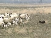 Stock Video Footage of Border collie herding a flock of Schoonebeker heath sheep, a rare breed