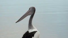 Close up from Pelican looking around on the beach in Kalbarri, Western Australia Stock Footage
