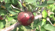 Stock Video Footage of Rotten apple