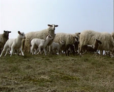 A flock of bleating Schoonebeker heath sheep passing camera - low angle Stock Footage
