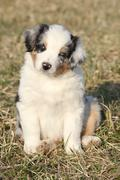 Nice puppy of australian shepherd dog in early spring grass Stock Photos