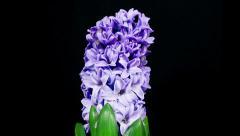 Blue hyacinth flower blooming timelapse Stock Footage