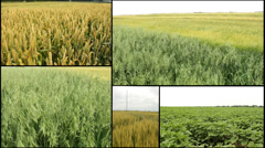 Barley ,wheat,grain..harvest .agriculture field multi screen Stock Footage