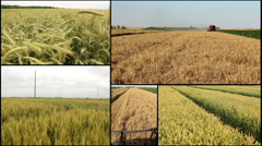 Wheat ,barley ,grain..harvest combine in .agriculture field multi screen Stock Footage