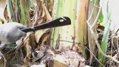 Farmer cutting banana tree Stock Footage