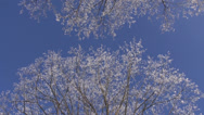 Stock Video Footage of beautiful hoarfrost on winter tree